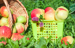 Harvesting of red juicy ripe apples Royalty Free Stock Image