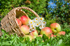 Harvesting of red juicy ripe apples Stock Images