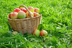 Harvesting of red juicy ripe apples Stock Photos