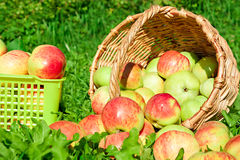 Harvesting of red juicy ripe apples Royalty Free Stock Photo