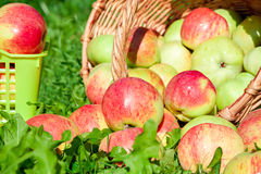 Harvesting of red juicy ripe apples Royalty Free Stock Photography