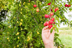 Harvesting red plums from the tree Royalty Free Stock Image