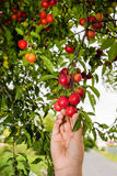 Harvesting red plums from the tree Stock Images