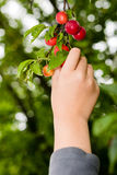 Harvesting red plums from the tree Royalty Free Stock Photography