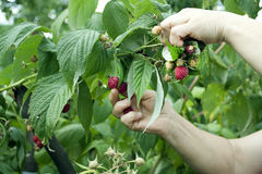 Harvesting of red raspberry Royalty Free Stock Photo