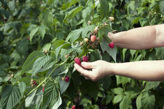 Harvesting of red raspberry Royalty Free Stock Images