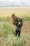 Harvesting rice. A peasant woman is carrying rice bunch during harvesting time in central Thailand Stock Photo