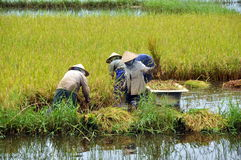 Harvesting Rice. Asian people harvesting rice manually Stock Images