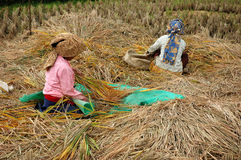 Harvesting for Rice Stock Photography