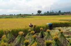 Harvesting rice in China Royalty Free Stock Image