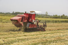 Harvesting rice. Combine machine working and harvesting rice in the  field Royalty Free Stock Photo