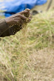 Harvesting Rice Crop. Focus is on the hands that are separating the grass from the rice grains Royalty Free Stock Image