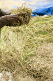 Harvesting Rice Crop Royalty Free Stock Images