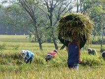 Harvesting rice Stock Photography