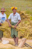 Harvesting Rice in The Fields Stock Images