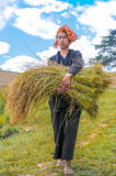 Harvesting Rice in The Fields Stock Image