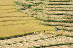 Harvesting rice on the terraced fields Royalty Free Stock Images