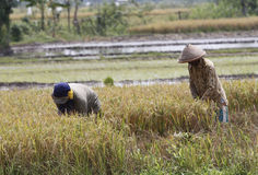 Harvesting rice Royalty Free Stock Image