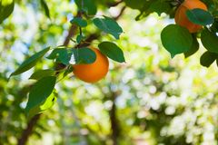 Harvesting ripe apricots on a background of green leaves stock images