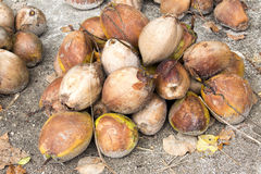 Harvesting of ripe coconuts,  Nusa Penida-Bali, Indonesia Royalty Free Stock Photo