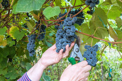 Harvesting ripe grape Stock Images