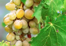 Harvesting of ripe grapes, Red wine grapes on vine in vineyard, stock photos