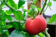 Harvesting of ripe green and red tomatoes Stock Photo
