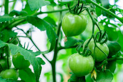 Harvesting of ripe green and red tomatoes Royalty Free Stock Image