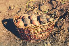 Harvesting, Ripe, potatoes, farm, agriculture, in a basket, harv. Harvest. Ripe potatoes in a basket were  harvested in the garden Stock Photos