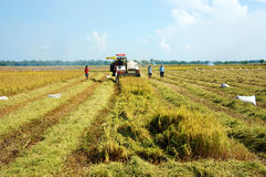Harvesting ripe rice on paddy field. DONG THAP, VIET NAM- NOVEMBER 12: Farmer harvesting ripe rice on paddy field by farm tractor Dong Thap, Viet Nam, November Stock Photo