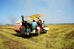Harvesting ripe rice on paddy field Royalty Free Stock Photo
