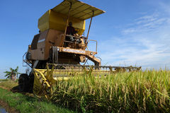 Harvesting ripe rice on paddy field Stock Photos
