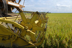 Harvesting ripe rice on paddy field Royalty Free Stock Images