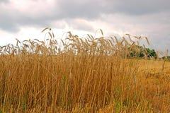 Harvesting ripe rye ears in a field Stock Image