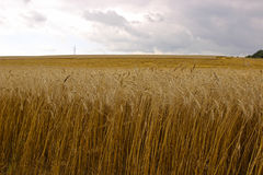 Harvesting ripe rye ears in a field Royalty Free Stock Photos