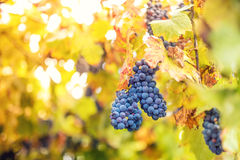 Harvesting season with ripe grapes in fall. bunch of grapes at winery Stock Photo