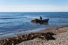 Harvesting of seaweed kelp from a boat Royalty Free Stock Photography