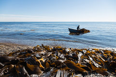 Harvesting of seaweed kelp from a boat Royalty Free Stock Photos