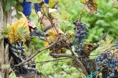 Harvesting. Selective focus. Motion blur Stock Photo