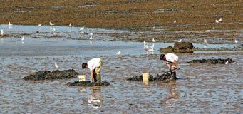 Harvesting shellfish Royalty Free Stock Photo