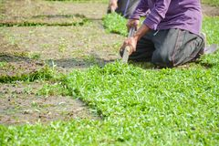 Harvesting sod or turf to be sold commercially. Thailand stock photography