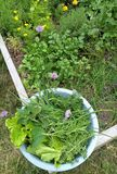 Harvesting some herbs and lettuce from the garden royalty free stock image