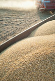 Harvesting soybean field Stock Photography