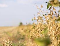 Harvesting of soybean stock photos