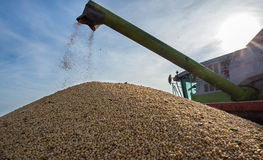 Harvesting of soybean Stock Image