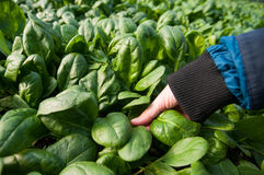 Harvesting spinach Royalty Free Stock Photos