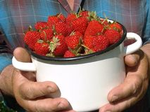 Harvesting strawberries Royalty Free Stock Images
