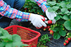 Harvesting strawberry Stock Photos