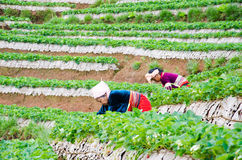 Harvesting  in strawberry farm Stock Images
