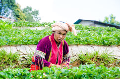 Harvesting  in strawberry farm Royalty Free Stock Image